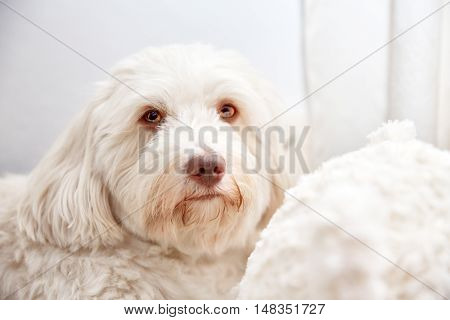 Beautiful Havanese Lady Portrait Shot