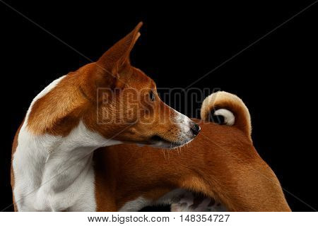 Close-up Adorable White with Red Basenji Dog Looking back on tail hook, Isolated Black Background