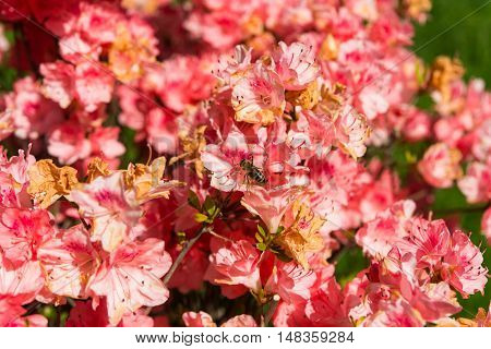 The blooming azalea blossom in garden spring