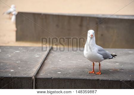 Seagull lovely white seabird standing on concrete bench in Melbourne city Australia