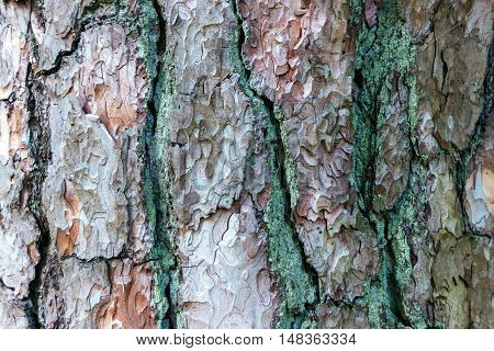 Old wood texture of pine bark. Background.