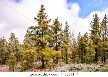 Beautiful Green Pine Trees