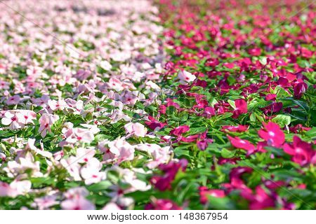 two colors border of Vinca flower in the park