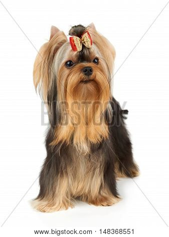 Yorkshire Terrier with beautiful eyes and hair bow stands on white background