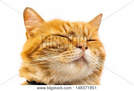 ginger cat animal isolated on white background