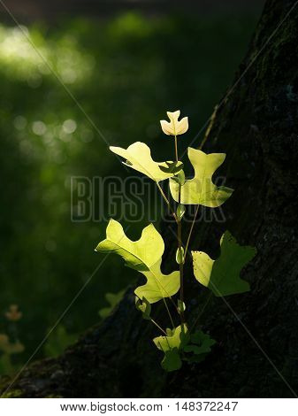 Tulip Tree leaves grown at the foot of a tree in sunshine