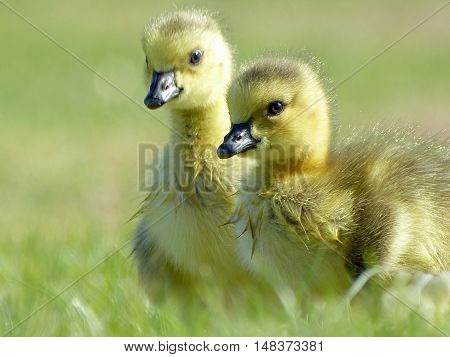 Two Canada goose goslings in the grass