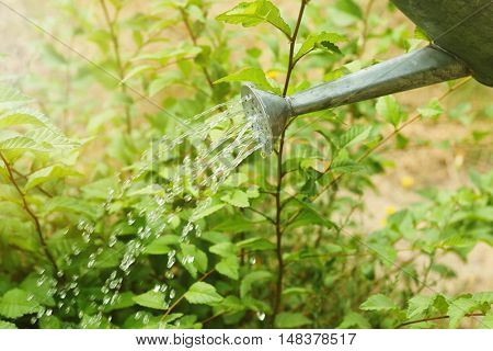 Water pouring from watering can on bushes in garden