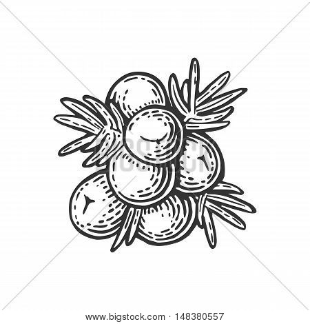 Branch of Juniper with berries. Vintage vector color engraving illustration for label poster menu web. Isolated on white background