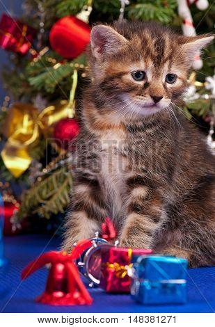 Cute fluffy kitten over Christmas spruce background
