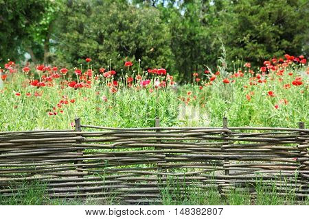 Beautiful red poppies behind a wicker fence