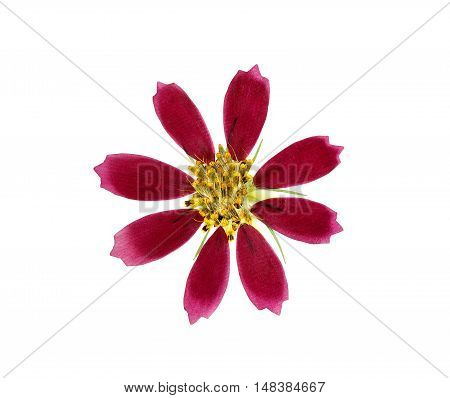 Pressed and dried flower coreopsis. Isolated on white background. For use in scrapbooking floristry (oshibana) or herbarium.