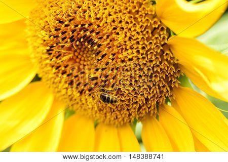 Sunflower blooming. Bee on sunflower. Sunflower on dark background. Sunflower close up