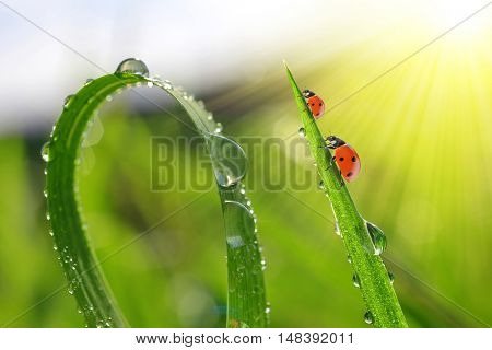 Fresh green grass with dew drops and ladybirds.