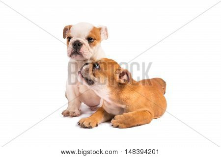 English Bulldog puppy on the white background