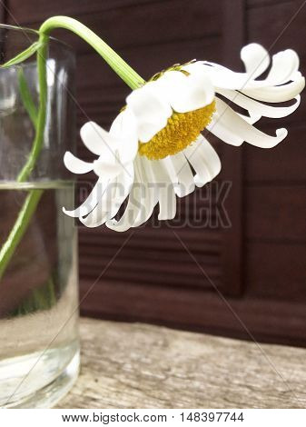Daisy in a glass of water on wooden background selective focus