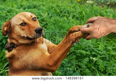 Red dog gives man hands to his hands on green meadow