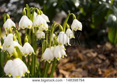 Snowdrops with dew drop of water selective focus