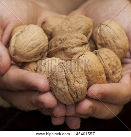 A lot of walnuts in the hands