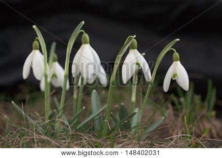 Snowdrop Flowers. Spring Season.