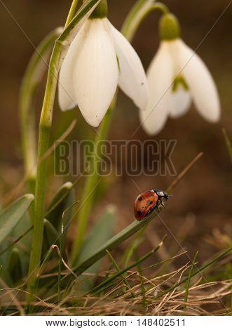 Snowdrop Flowers With Ladybug.