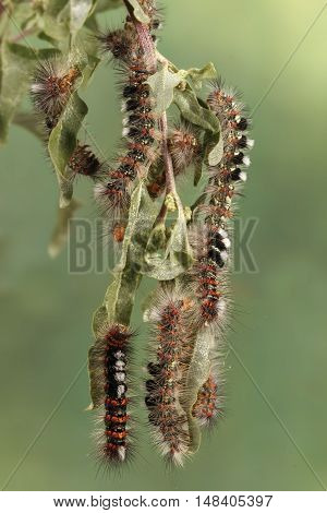 Caterpillar illustration. Closeup a lot of caterpillars chews the leaves of the plant. For background image banner. Vertical composition.