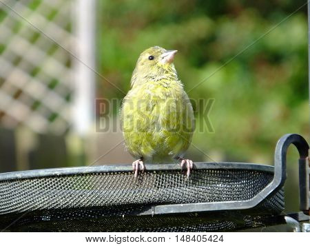 Greenfinch perched on the tray of a feeding station