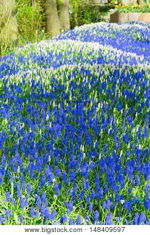 bluebell flowerbed river in dutch park Keukenhof, Netherlands