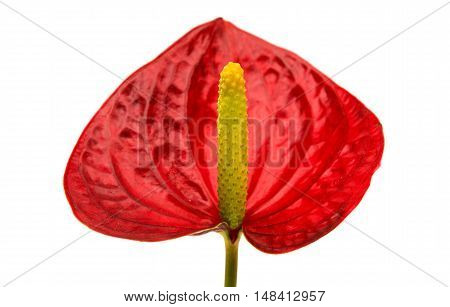 red Anthurium flower isolated on white background