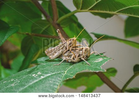 closeup two brown grasshoppers breeding in nature