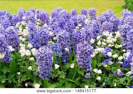 blue hyacinth flowerbed in dutch park Keukenhof, Netherlands