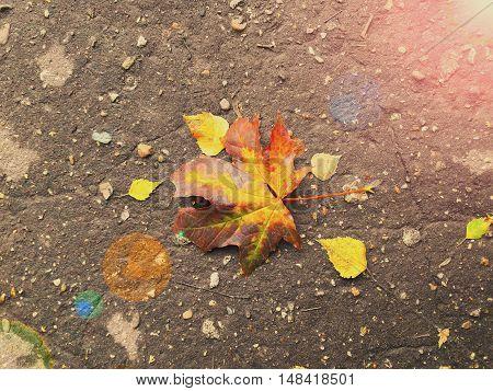 Maple leaf on road nature autumnal sun glare