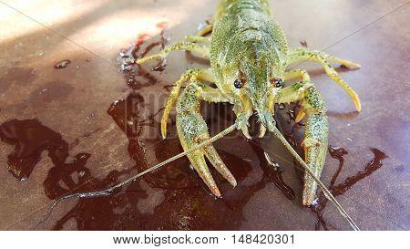 Alive green crab near a river in Moldova
