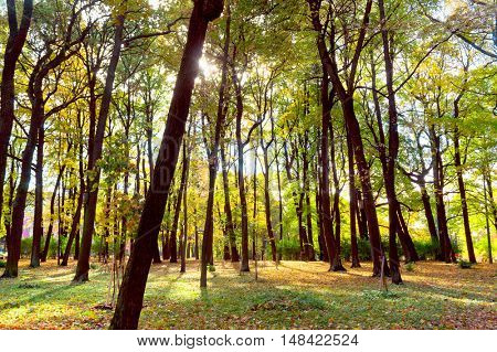 Trees of Yellow Fall Wallpaper