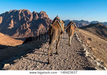 Bedouins and his camels descending from Mount Sinai in Egypt shortly after sunrise