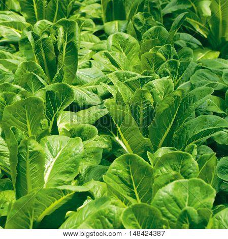 Fresh green  lettuce salad leaves closeup. Salad texture