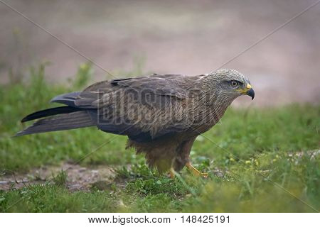 Black kite (Milvus migrans) standing on the ground in its habitat