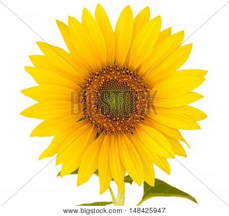 closeup of a sunflower over a white background