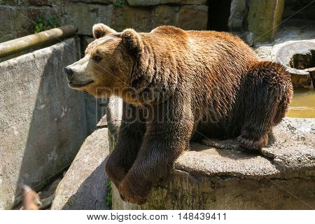 Big brown bear on the gray stone.
