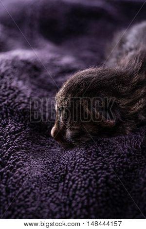 One Day Old Tabby Kitten Rests On Dark Blanket
