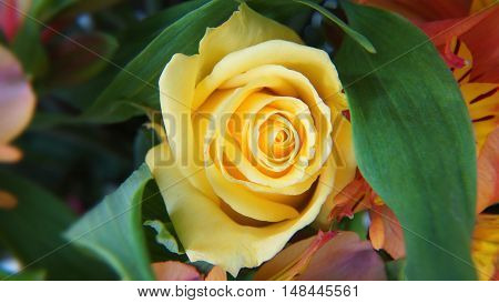 Close up of ecuadorian yellow rose with green leaves