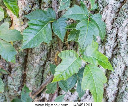 Poison Ivy climbing On a Tree Trunk.