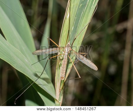 Crane Fly Perched on a Grass Stem.