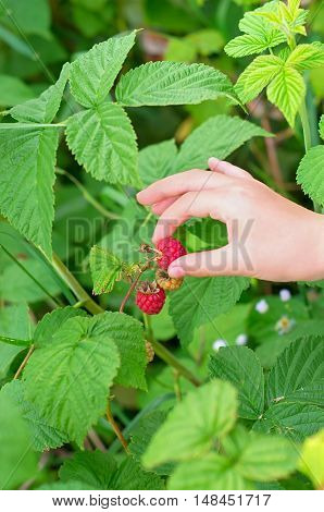 gathering raspberries a child's hand collects berries on a background of green leaves