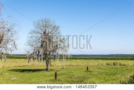 A lone tree, draped with Spanish Moss, beside a lake in the American deep south