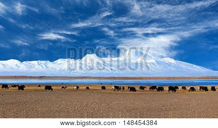 Gurla Mandhata Mount And Herd Of Yaks In Tibet, China