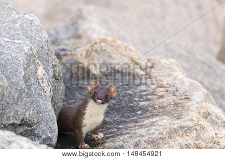 Long-tailed Weasel pops out from hiding place in dike