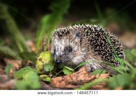 little young hedgehog (Erinaceus europaeus) in autumn forest looking for food in the undergrowth selected focus narrow depth of field
