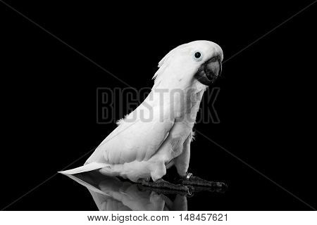 Crested Cockatoo White alba, Umbrella, Funny Looking in Camera, Indonesia, isolated on Black Background
