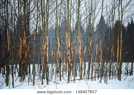 Small trees with scratched by moose bark in a winter forest